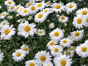 Четверка лучших лекарственных растений_Ромашка