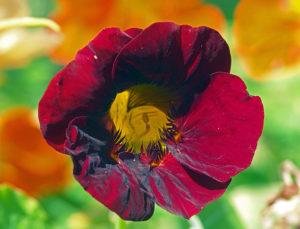 Настурция – декоративное, лекарственное, пищевое растение