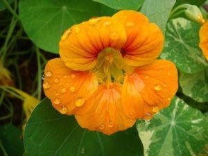«каперсы» из семян настурции