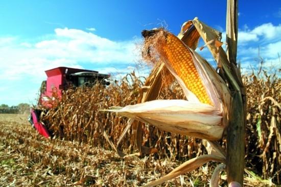 Особенности выращивания кукурузы, подсолнечника